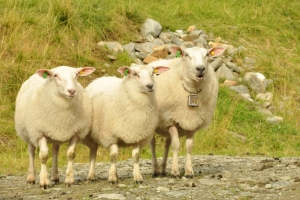 sheep-1443198-m